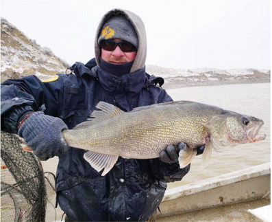 Annual Fort Peck Walleye Spawn  Underway Without Volunteers