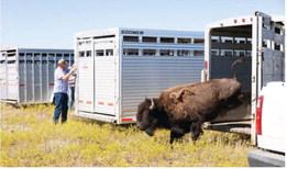 Bison Transfer