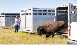 Eleven Bison Transferred  To Tribes' Facility